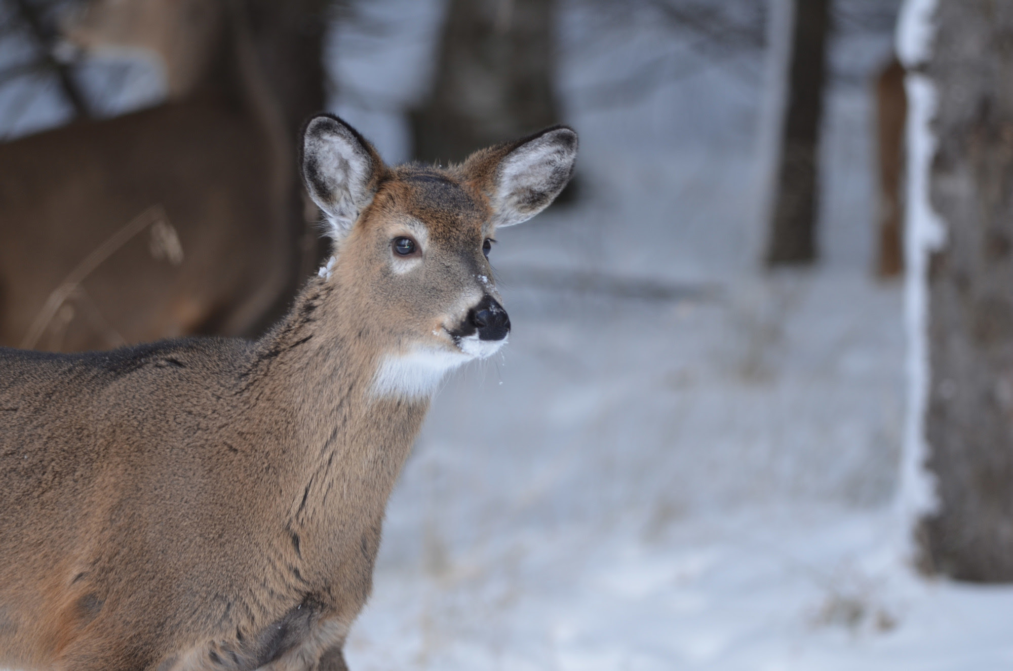 White-tailed deer are the subject of a new multi-year study by the Michigan DNR to determine seasonal migration and abundance in the U.P.