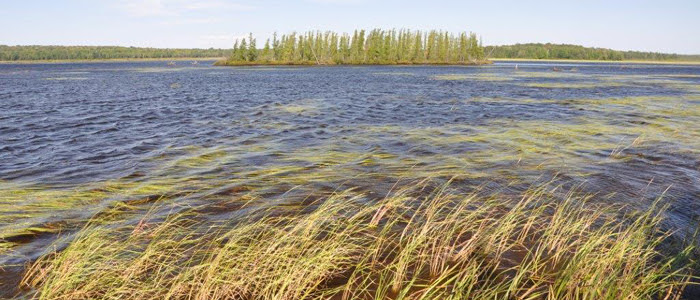 A view of Little Rice Lake, with wild rice blowing in the wind.