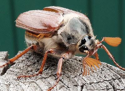 A cockchafer May bug