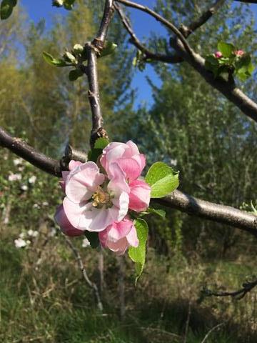 apple blossom on Brookfield