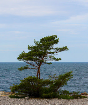 Pine tree from Gotland