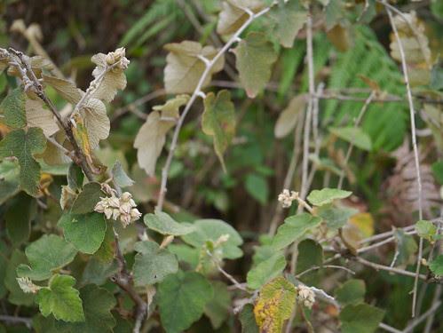 Rubus indicus Thunb.