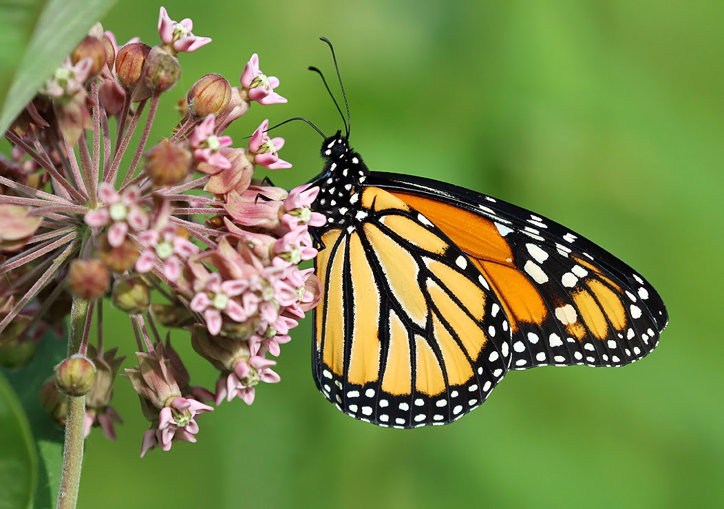 A monarch butterfly drinks from a pink milkweed flower in front of a blurred green background.