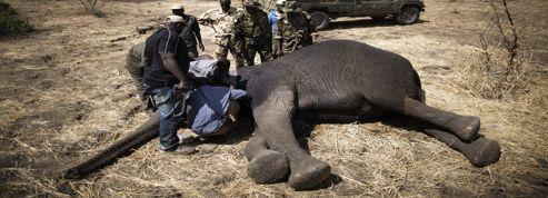 Les éléphants d'Afrique centrale menacés de disparition