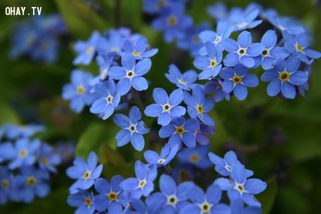 Hoa Lưu Ly - Tình yêu chân thực,hoa ngữ,ngôn ngữ các loài hoa,hoa quả,hoa đẹp