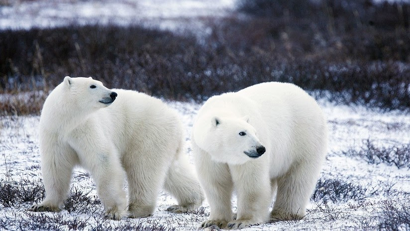 VIDEOS, FOTOS: Declaran en emergencia a un archipiélago ruso por una invasión de osos polares
