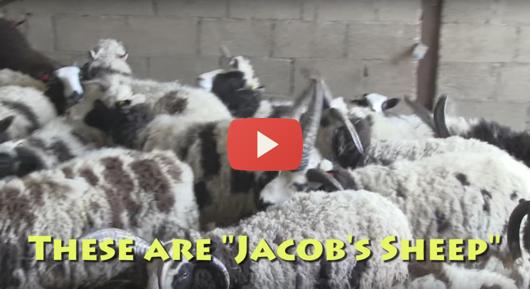 Jacob-sheep-email