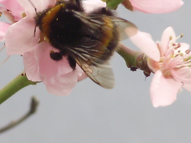 Bee on peach blossom in the polytunnel