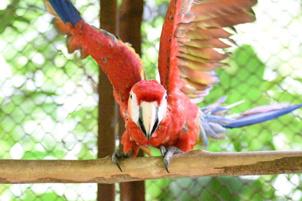Young scarlet macaw flapping his wings, facing camera