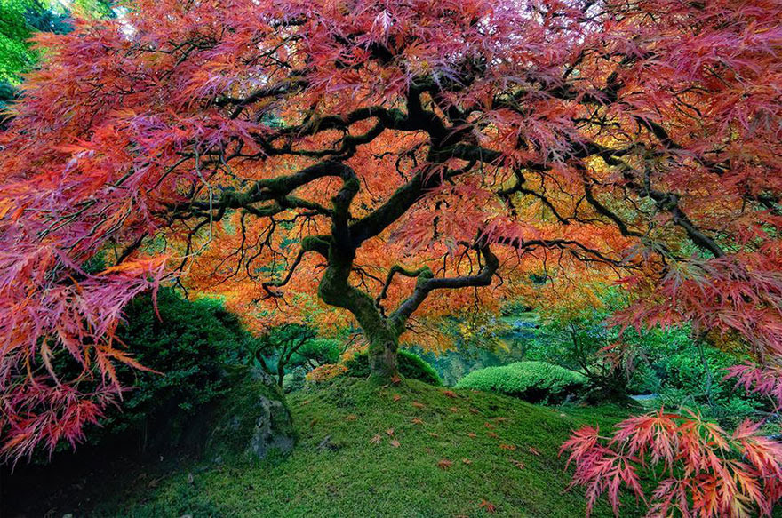 tree-Japanes-Maple-in-Portland-Oregon-USA-by-falcor88
