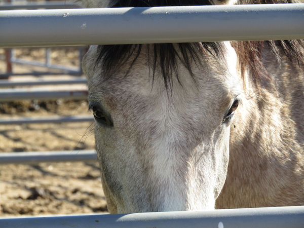 A mustang looking out through the bars of a holding pen