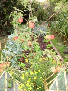 Apple 'Red Windsor' on 'Coronet' rootstock in my raised bed potager