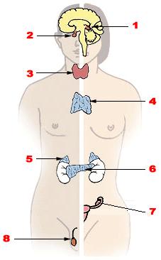 Illu endocrine system.png