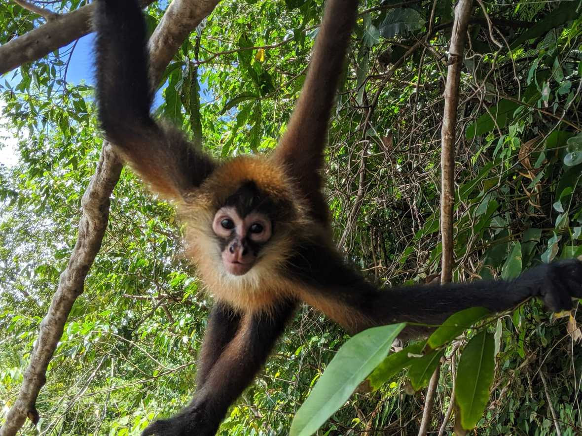 Young spider monkey hanging from branches with hands and tail