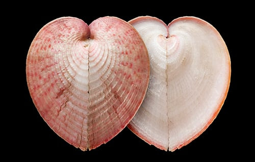 Heart cockles