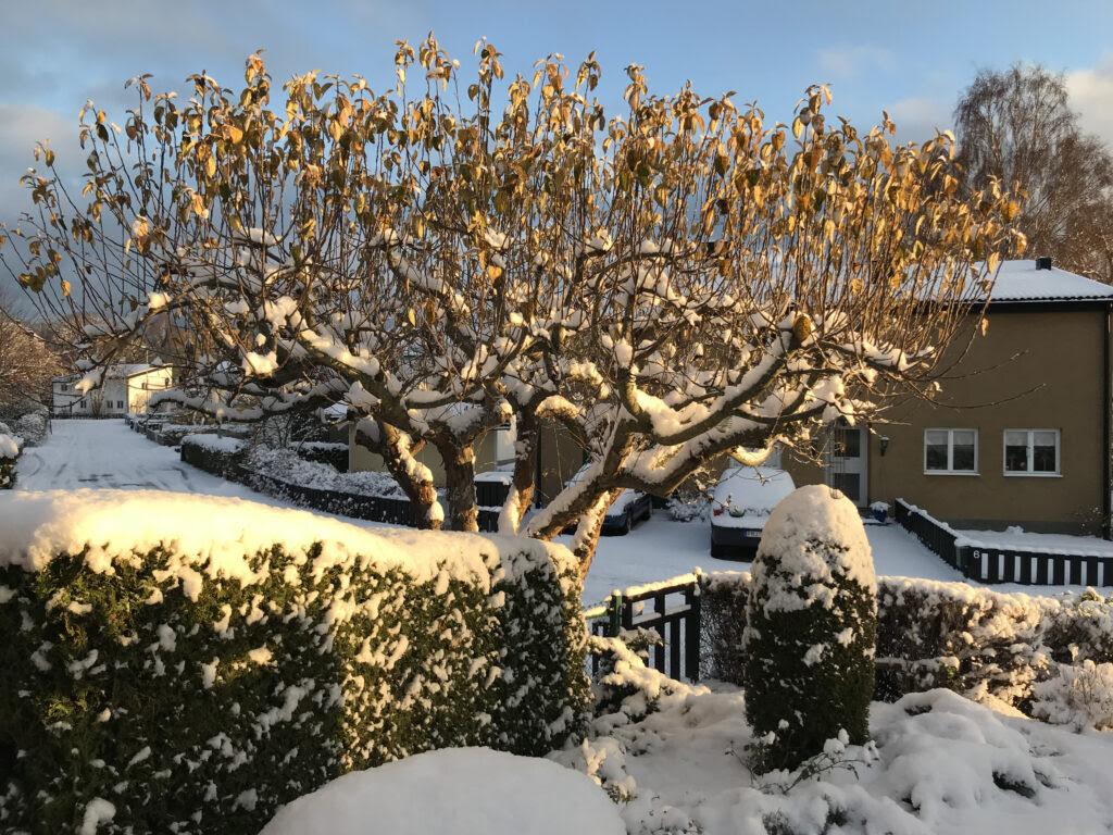 Bilden visar solbelyst vinterträdgård.