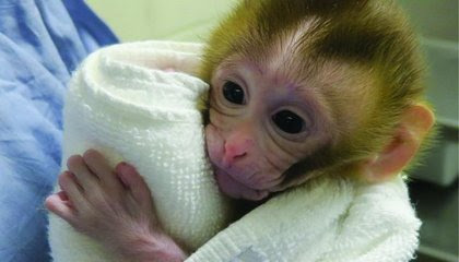 Baby Monkey Born Using Frozen Testicular Tissue, Giving Hope for Infertile Childhood Cancer Survivors image