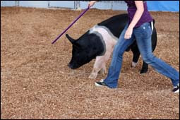 The figure above is a photograph showing a female training a pig at an agricultural fair.
