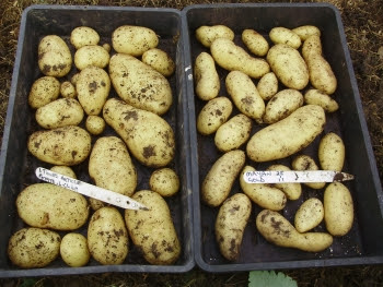 Extra Early potatoes 'Lady Christl' & 'Mayan Gold'. Harvested 30th April.
