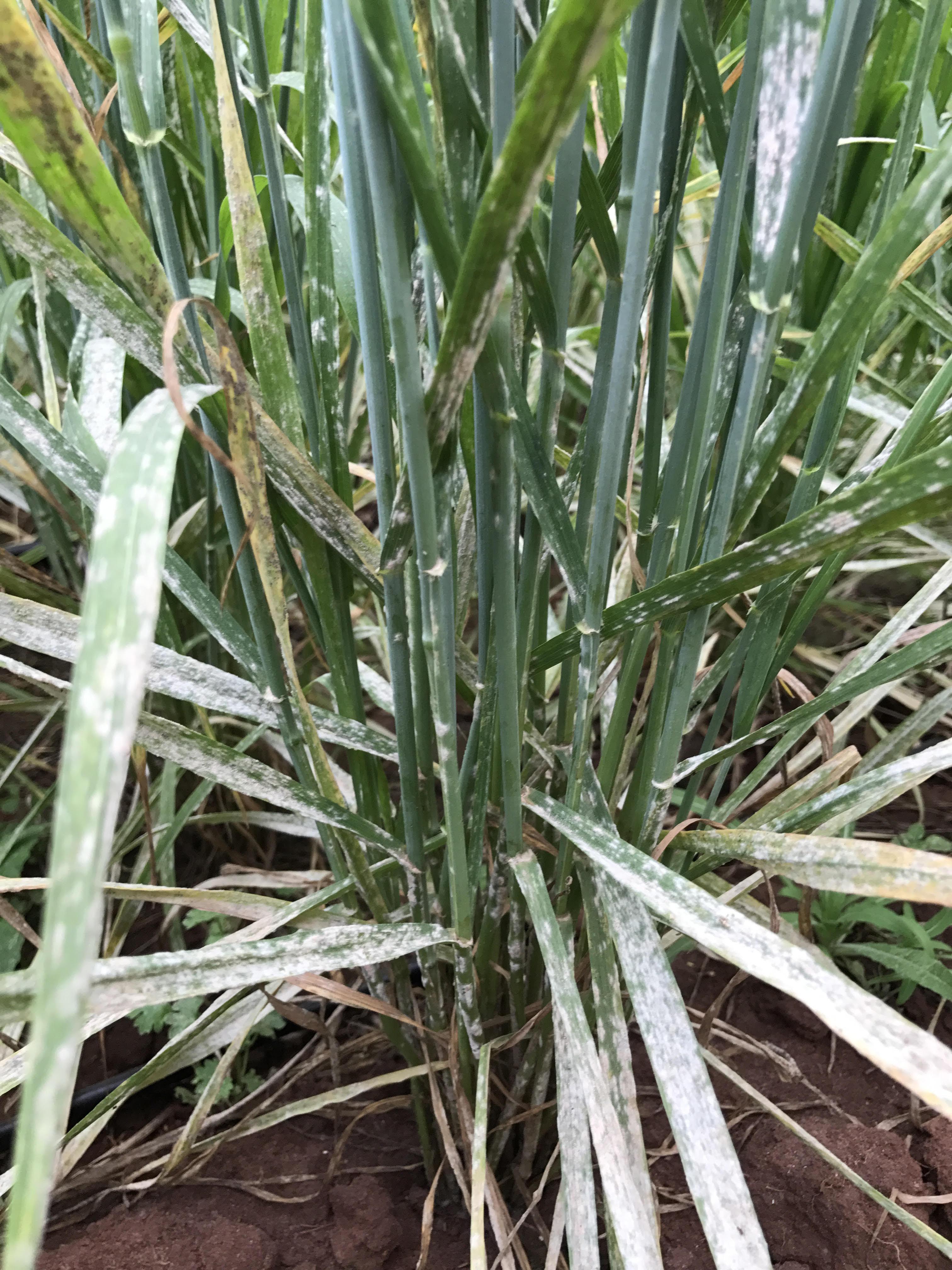 Tempo seco e temperaturas amenas facilitaram a infecção do Oídio no trigo. Fotos: Divulgação Biotrigo Genética