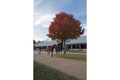 A weanling walks the grounds during the Keeneland November Sale