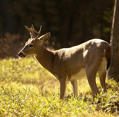 Buck standing in sunlight