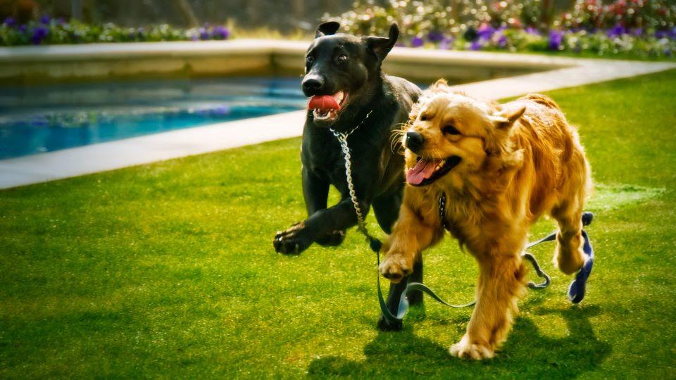 labrador retriever and golden retriever