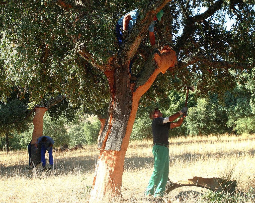 La saca del corcho. The harvesting of Cork Oak