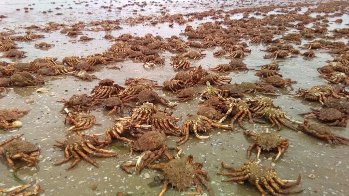 VIDEO. Côtes-d'Armor : des milliers d'araignées de mer s'échouent sur une plage