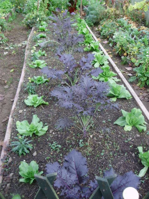 SE main bed. Home bred purple kale hybrids with Sugar Loaf chicory.
