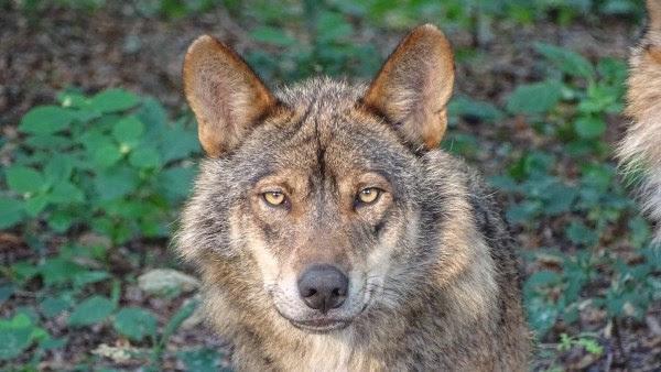Lobo ibérico. Imagen de 3Dinaani en Pixabay