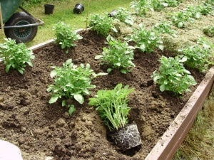 Planting 'Apache' potato plants with nice root balls and tiny developing tubers in April.