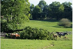 Mares and foals around a downed tree after severe storms in Woodford County
