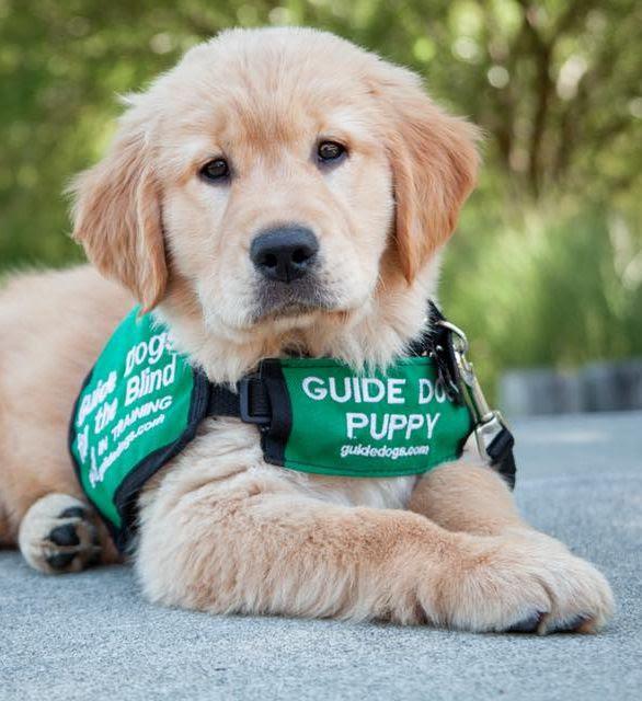 Photo of Golden Retriever guide dog puppy
