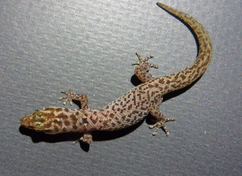 reef gecko