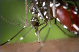 The figure above is a photograph showing an Aedes Aegypti mosquito.