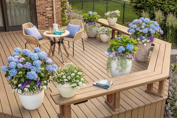 Hydrangeas in containers on deck