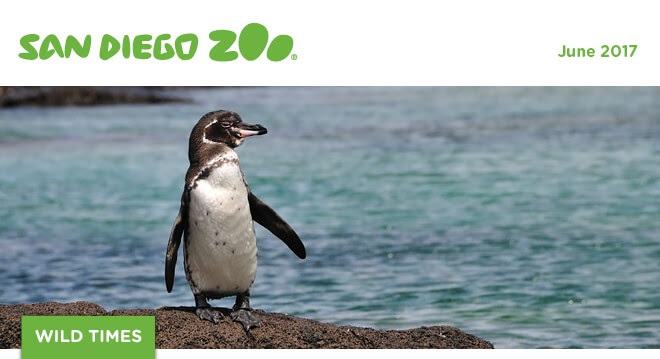 San Diego Zoo Wild Times, June 2017. An African penguin stands on a rock with the water behind.