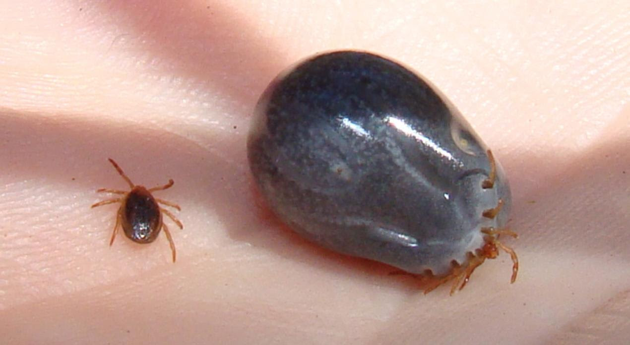 Tick before & after feeding