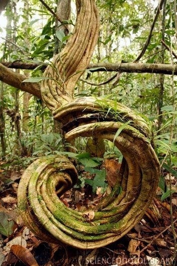 Rainforest-undergrowth.-Tangled-lianas-woody-vines-covered-in-moss-Peru
