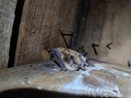 Brown bats roosting in an attic.