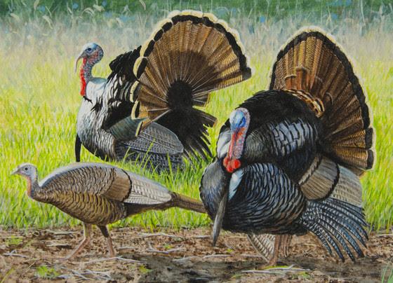 image of turkeys