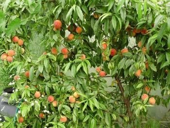 A good crop of peaches in late July