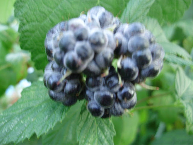 Raspberry Black Jewel