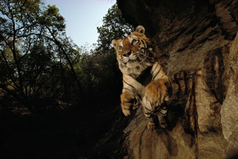 Michael Nichols, Charger, Bandhavgarh National Park, India, 1996.
