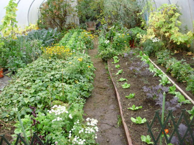 View on same day this year. Clockwise - Sweet potatoes in bed left foreground, calabrese, salads, beets & chards, Kale & sugar loaf chicory