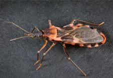 The triatomine bug, also known as the kissing bug