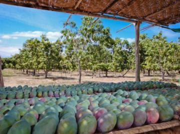 Producción mundial de mangos, mangostanes y guayabas alcanzarían los 84 millones de toneladas para 2030, aumentando a una tasa de 3.3% anual durante este período
