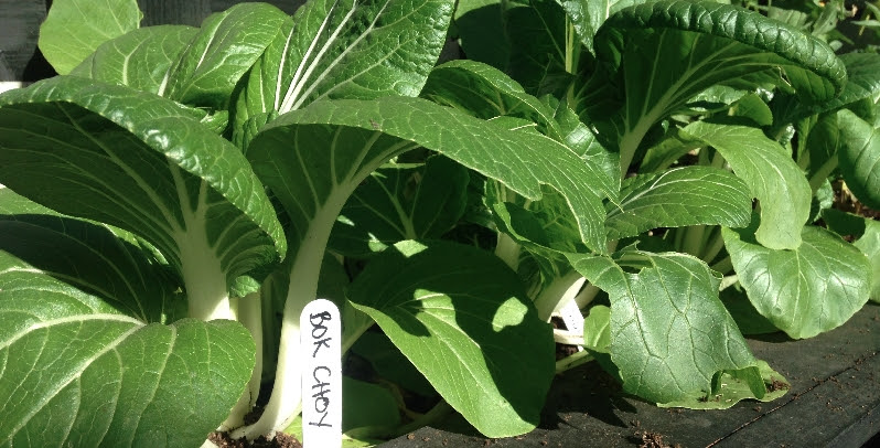 Organic Garden - Bok Choy