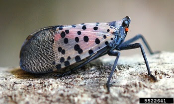 Spotted lanternfly with wings folded showing grey wings with black spots